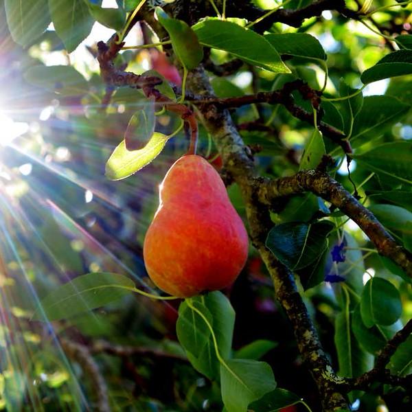 pear-L.jpg